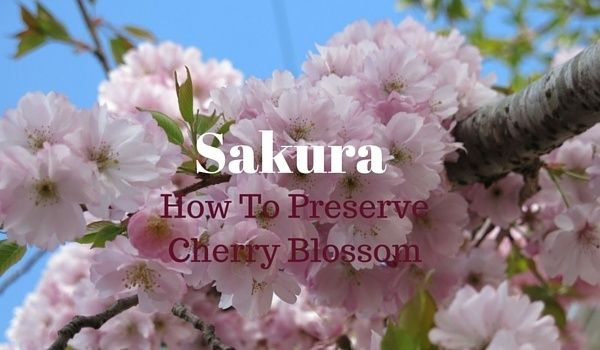 Preserving Cherry Blossoms For Fancy Sparkling Wine Garnishes Offbeat Home Life Cherry Blossom Edible Flowers Edible Flowers Recipes