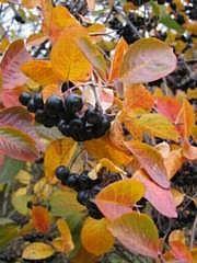 Marja-aronia - Aronia Prunifolia-ryhmä - bäraronia