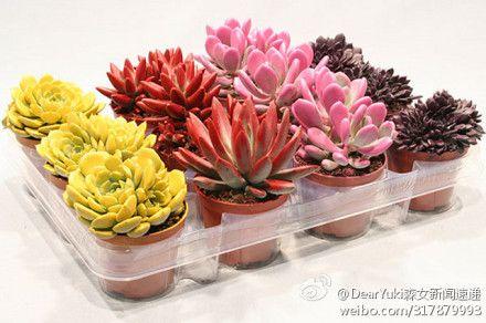 超好看的多肉植物,我最爱粉红色那盆。你们呢!!