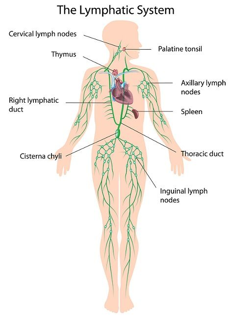 Lymph nodes lymphatic system diagram