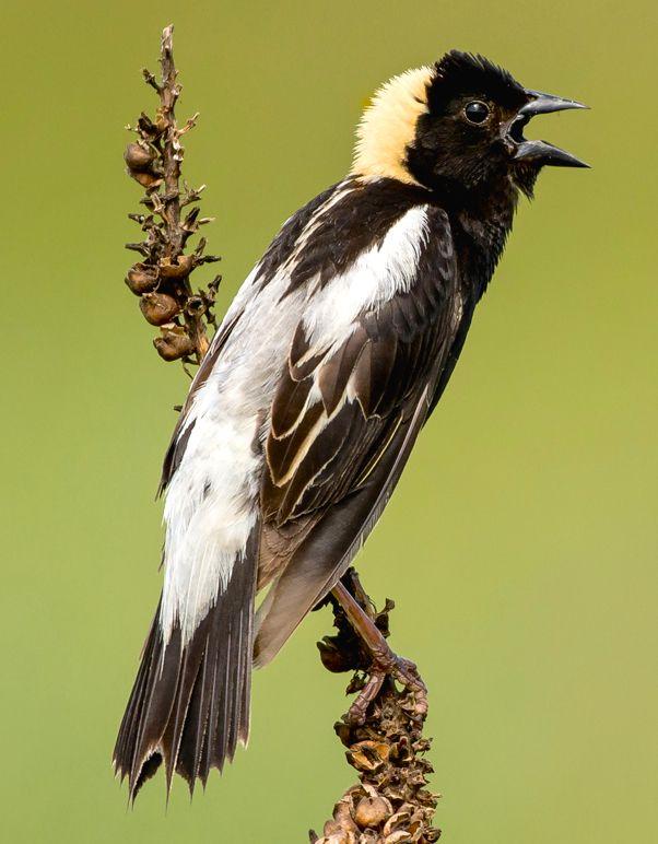 Bobolink Dolichonyx Oryzivorus Bird Feathers Birds Allegan County