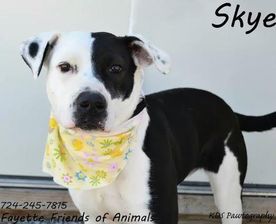 Adopt Skye On Pitbull Terrier Terrier Dogs Adoption