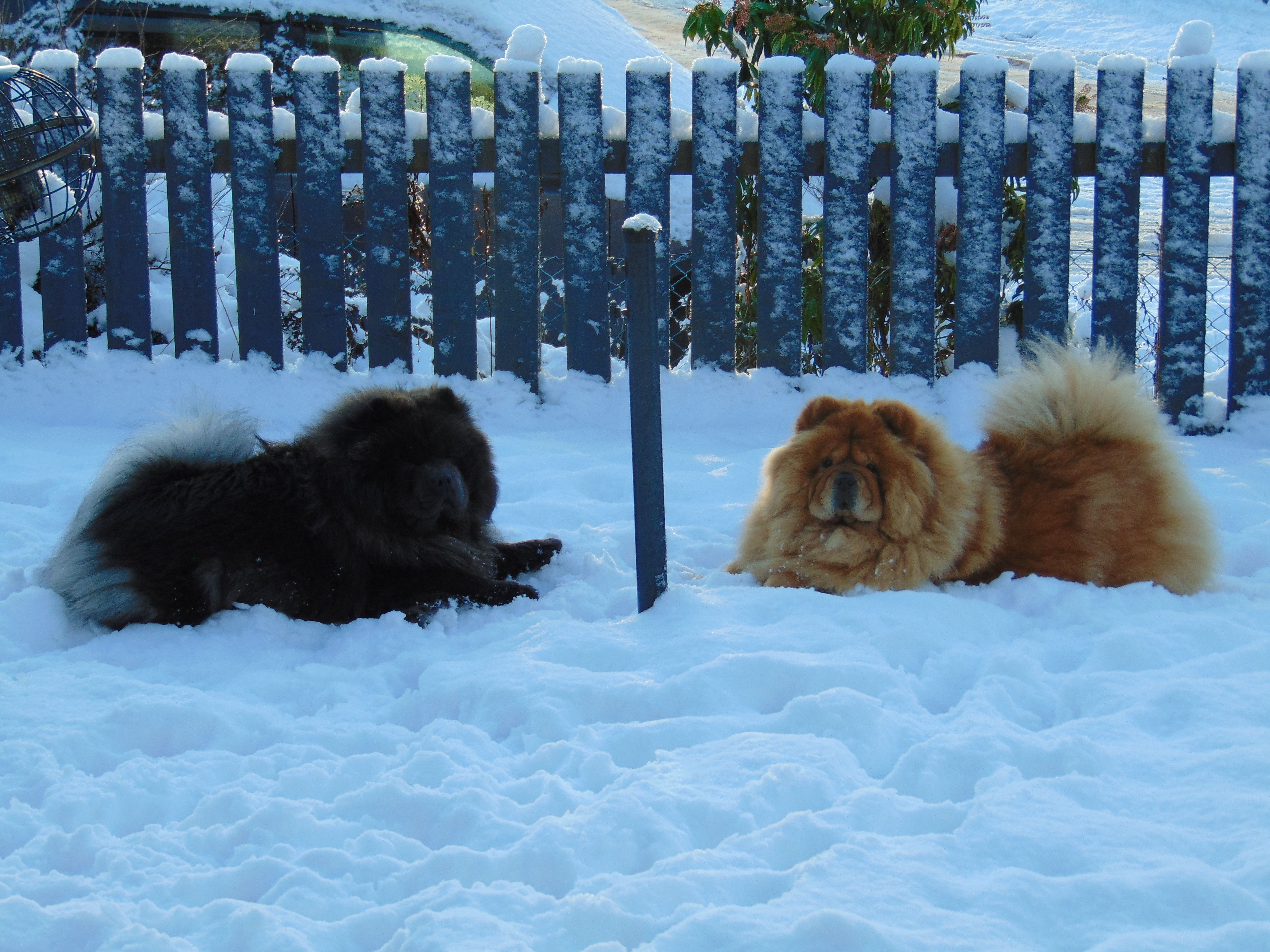 Vasili And Mishka In A Chow Chow Pow Wow Try Saying That Fast
