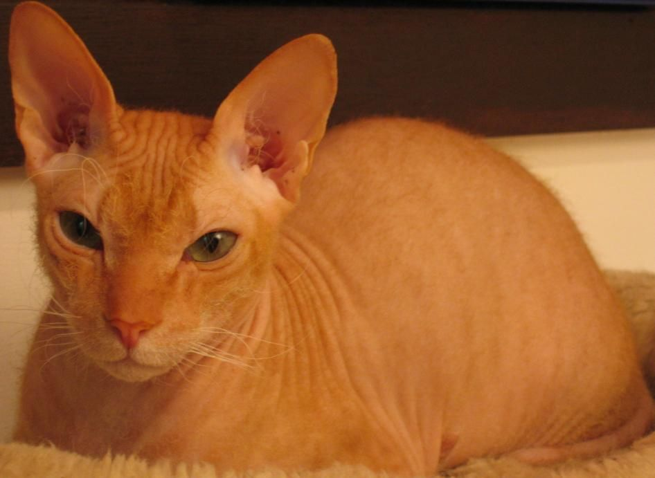 Chat sans poil / hairless cat