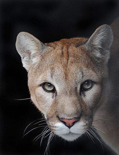 Cougar list