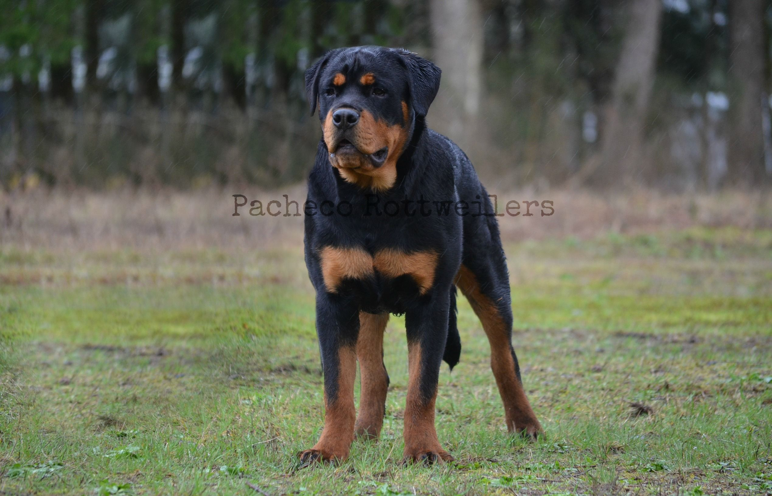 Rambo 6 Months Playing In The Rain Rottweiler Puppy Growing