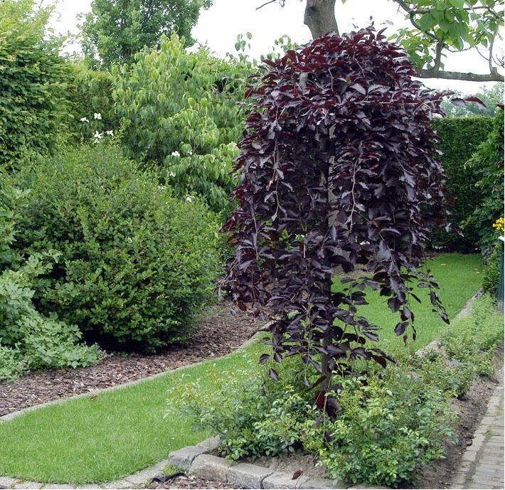 fagus sylvatica 39 purpurea pendula 39 weeping european beech. Black Bedroom Furniture Sets. Home Design Ideas