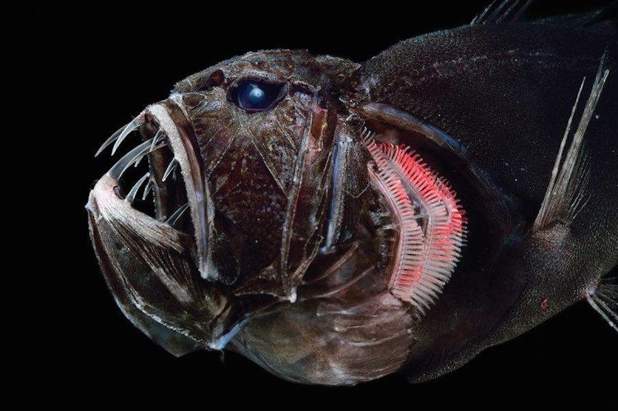 фото относится глубоководные животные фото место, чтобы будний