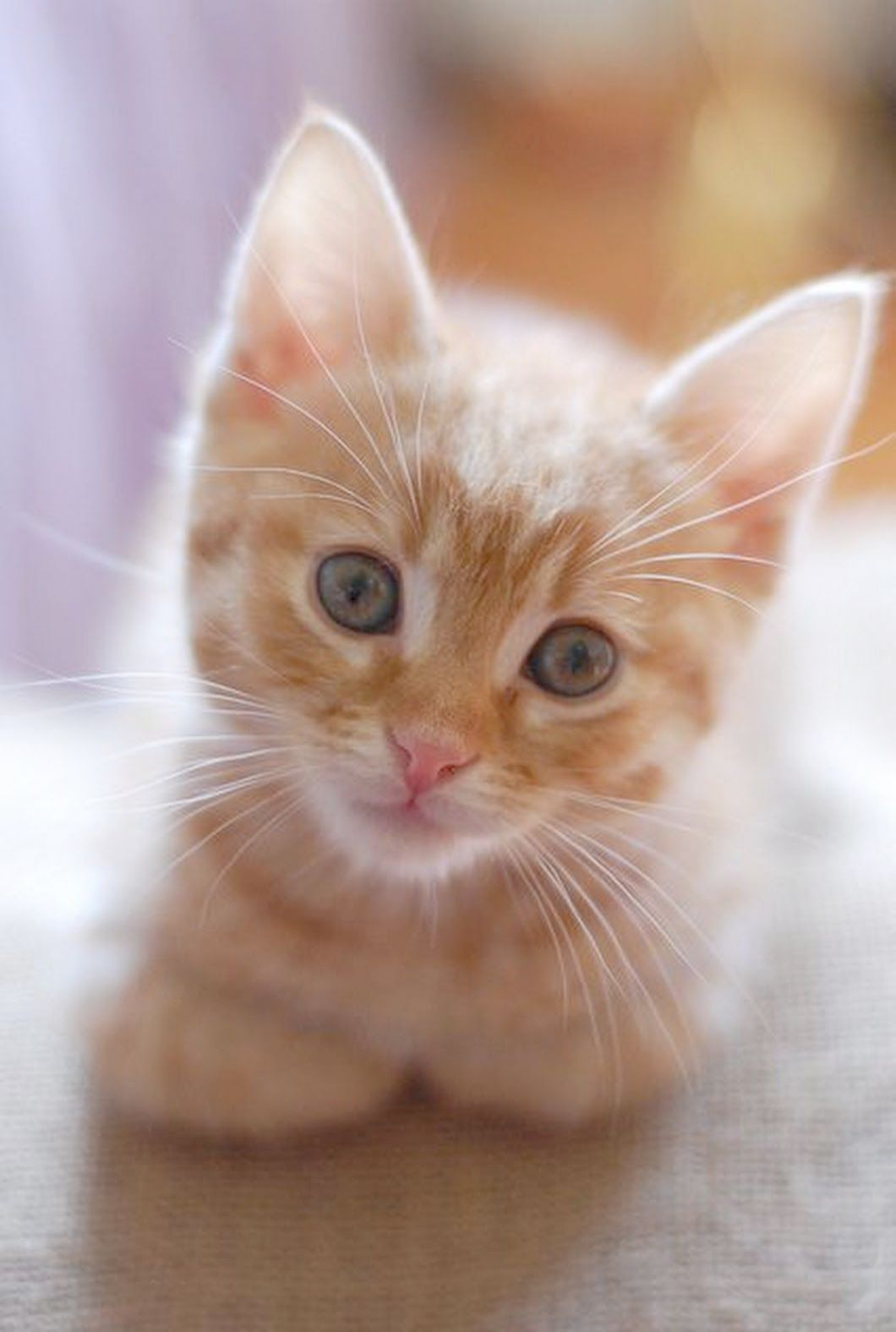 Cats Have Kittens At Cats And Kittens Perth Kittens Cutest Cats Tabby Kitten Orange
