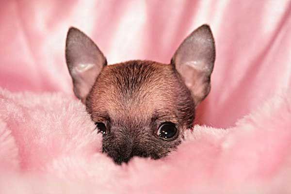 Meet Emma The Cleft Palate Chihuahua We Adopted Chihuahua Chihuahua Love Chihuahua Dogs