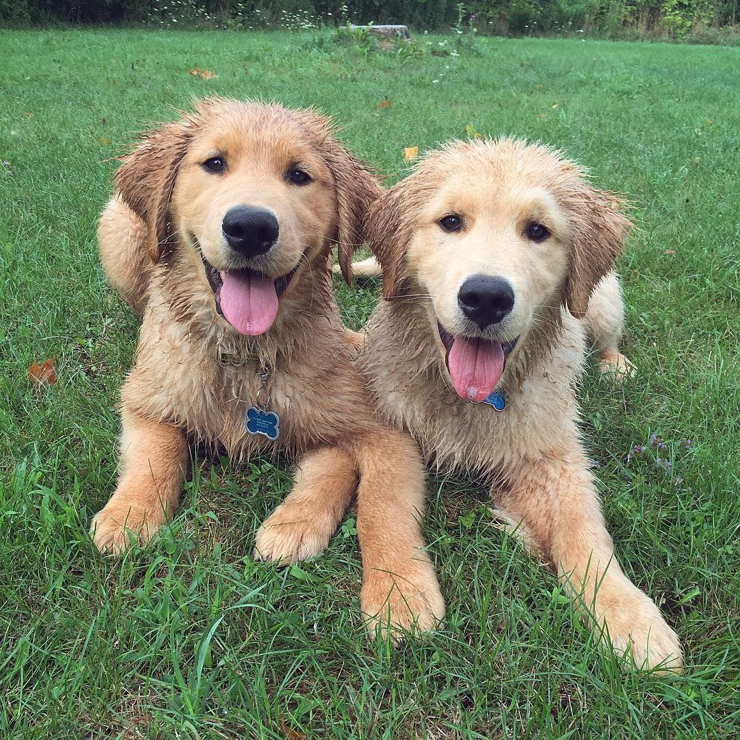 Jaxson And Blu Golden Retriever Cute Animals