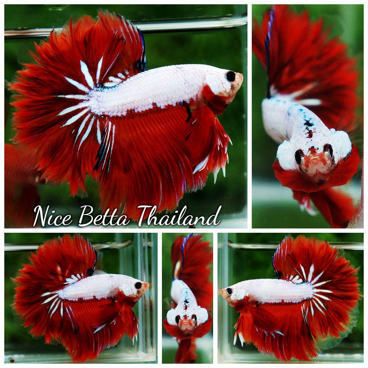 N03 05 Rose Tail Sunshine Dragon ปลาก ด