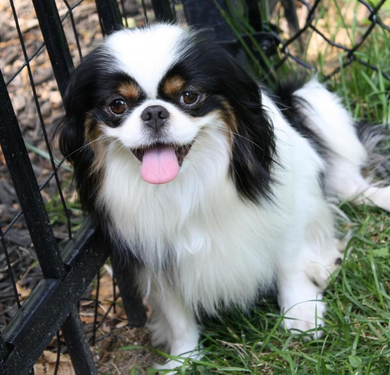 Adopt Dexter Adopted On Dog List Japanese Chin Pretty Animals