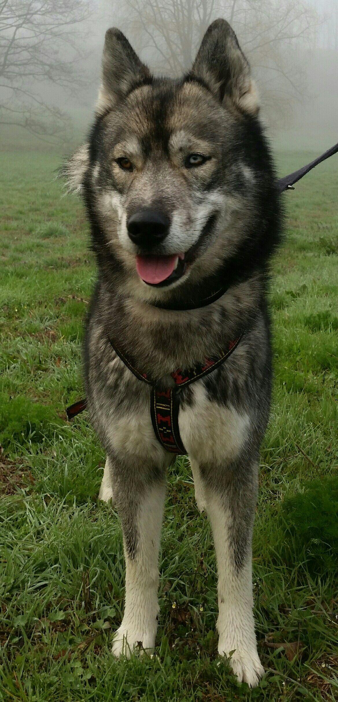 Agouti Husky 🐾🐺 in 2020 Friendly dog breeds, Agouti