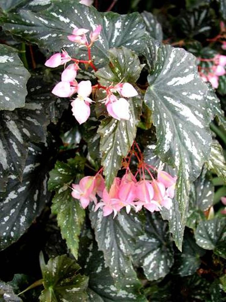 Begonia Superba Angel Wing Lana Angel Plant Begonia Plants