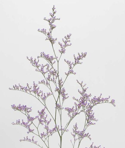 スターチスミスティブルー みんなの花図鑑 植物 花 図鑑