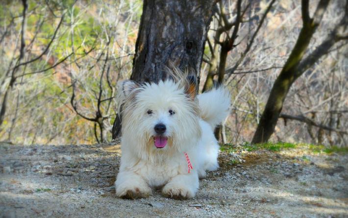 Herunterladen Hintergrundbild West Highland White Terrier Hund Flauschigen Weissen Hund Niedliche Tiere White Terrier White Fluffy Dog Fluffy Dogs