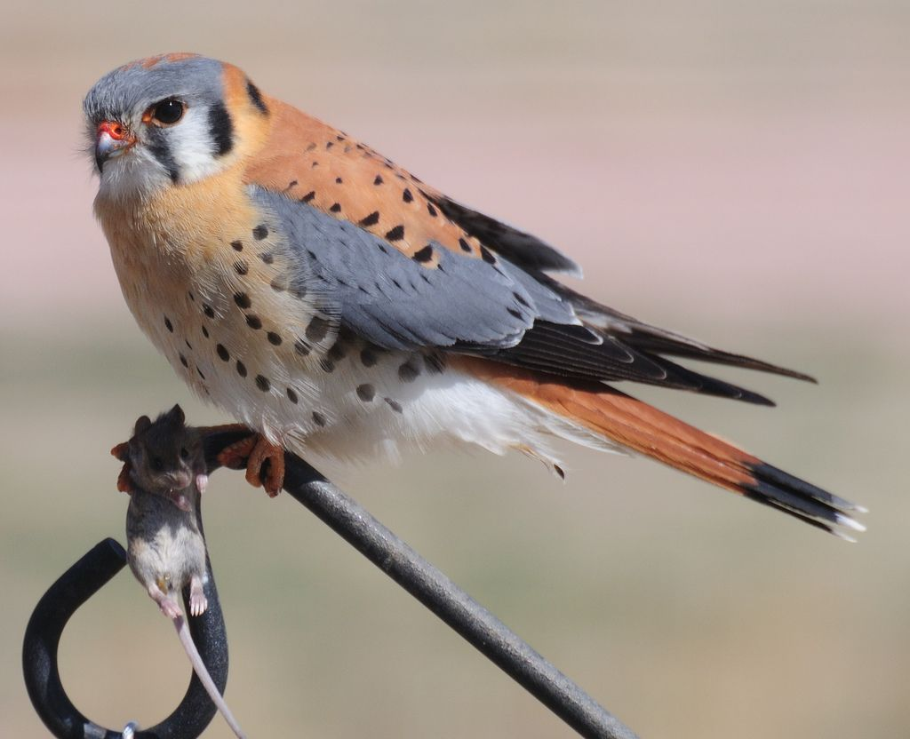 Male American Kestrel - Mmmm...Mouse for lunch   Small ...