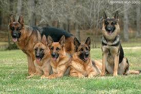 Full Grown German Shepherd Dogs Pastor Alemao Caes Pastor