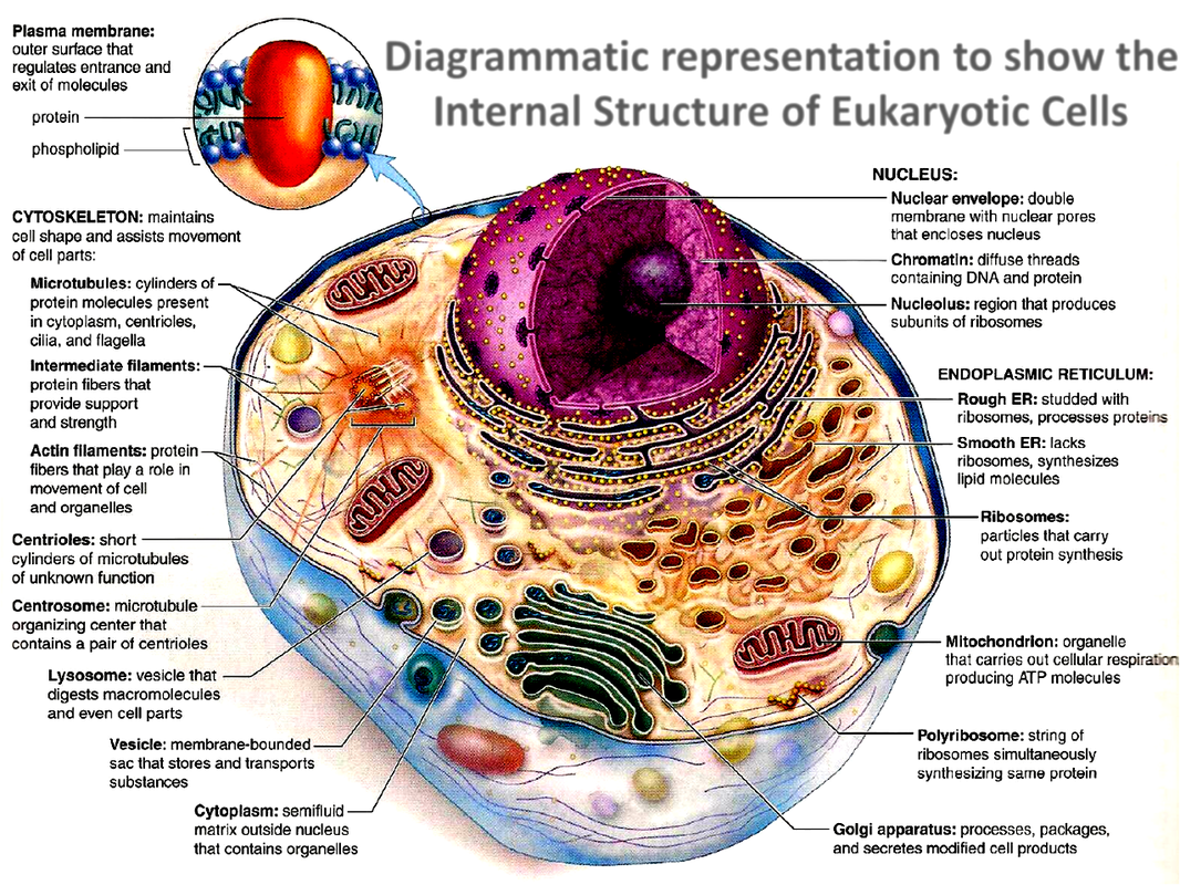 Internal Structure Of A Eukaryotic Cell