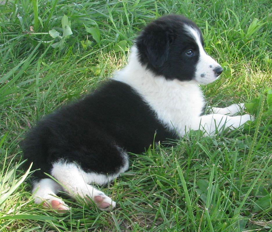 Black And White Border Collie Puppy Border Collie Puppies Border Collie Maremma Sheepdog Puppy