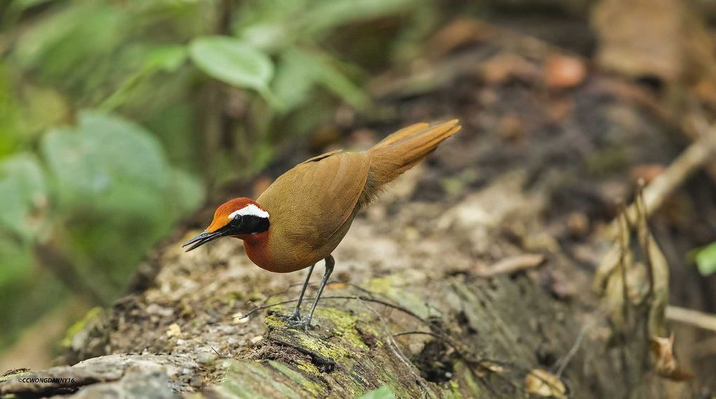 Malaysian Rail Babbler, photo by Danny Wong.  A shy & secretive bird, which lives on the forest floor, it's a medium-sized, fairly slender songbird, about 11–12 long & weighs 2.3–2.5 oz. It is believed to be declining due to loss and degradation of the forest and is classed as near threatened. Male and female look alike.