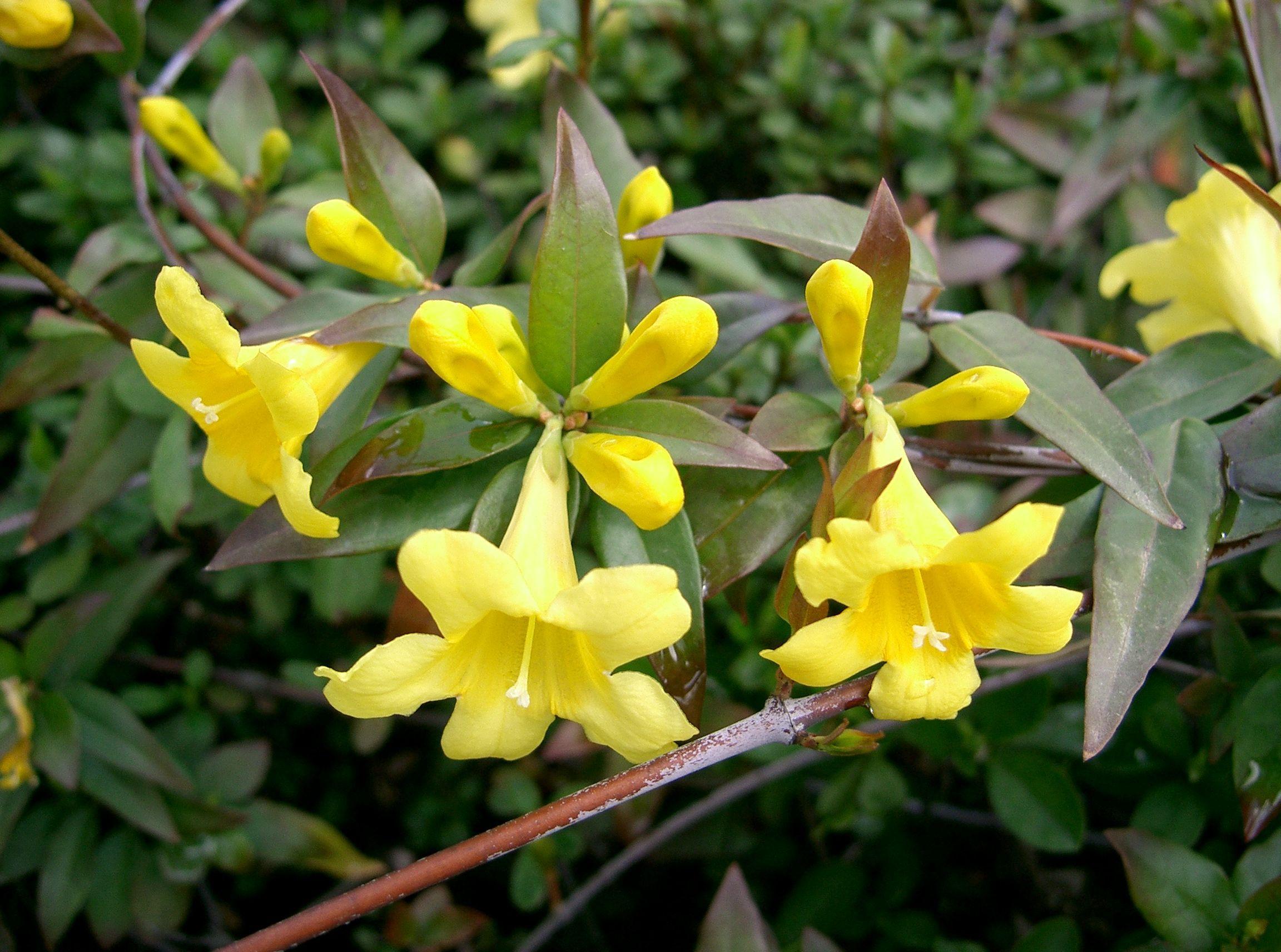 Carolina Jessamine South Carolina State Flower Vine That Grows To