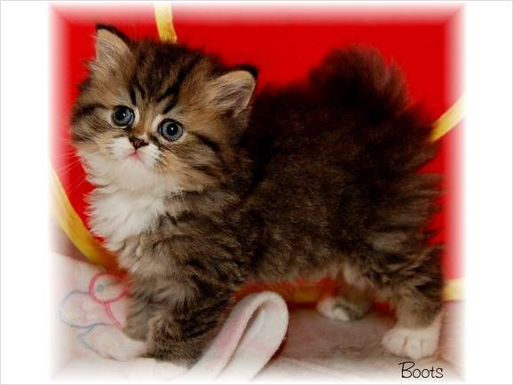 Teacup Persian Kittens For Sale Bardstown Kentucky Teacup Persian Kittens Teacup Cats Cute Baby Animals