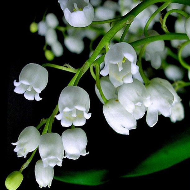 Lily of the valley is a beautiful exotic looking flower the flowers lily of the valley is a beautiful exotic looking flower the flowers are white mightylinksfo