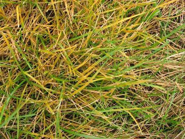 Rust Lawn Disease Fungus Rust Lawndisease Lawn Disease Lawn Care