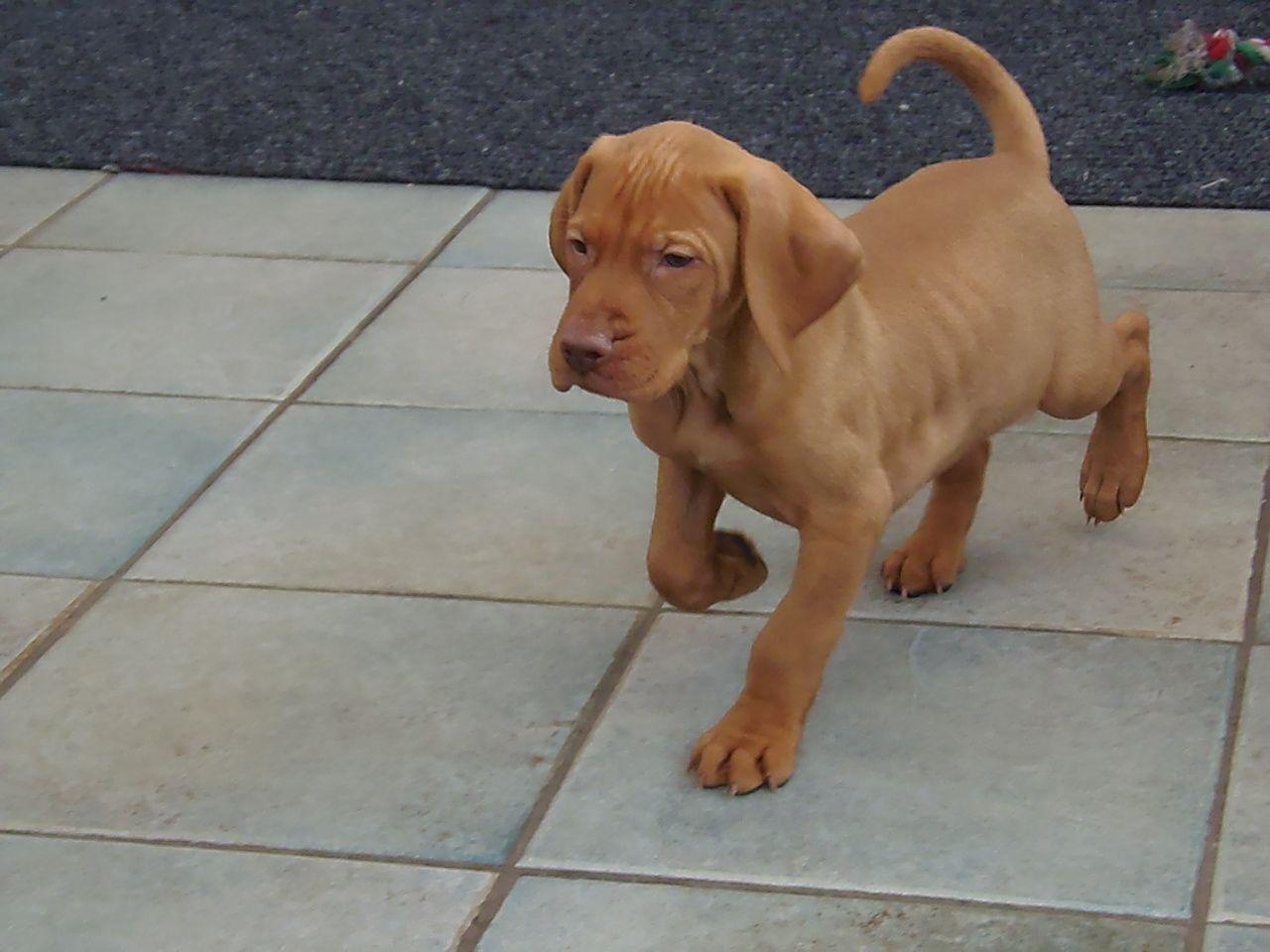 Hungarian Vizsla Puppies For Sale Carlisle Cumbria Pets4homes Vizsla Puppies For Sale Vizsla Puppies For Sale