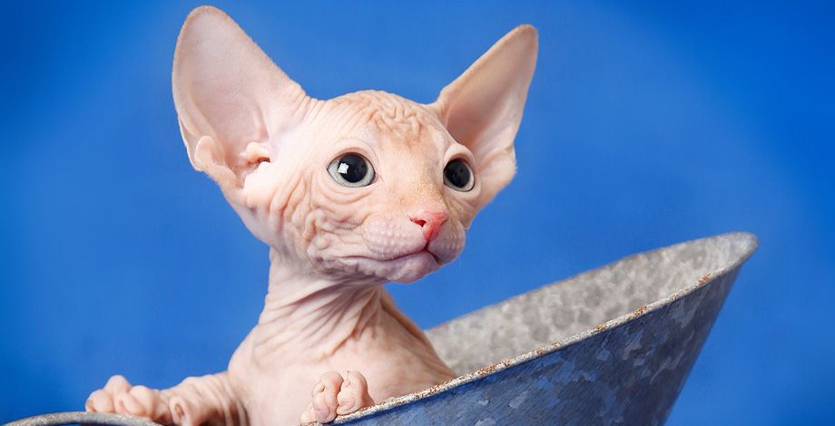 Red Tabby Sphynx This Is What My Baby Looks Like 39 Days Until He Can Come Home With Me Puppies And Kitties Sphynx Cat Rex Cat