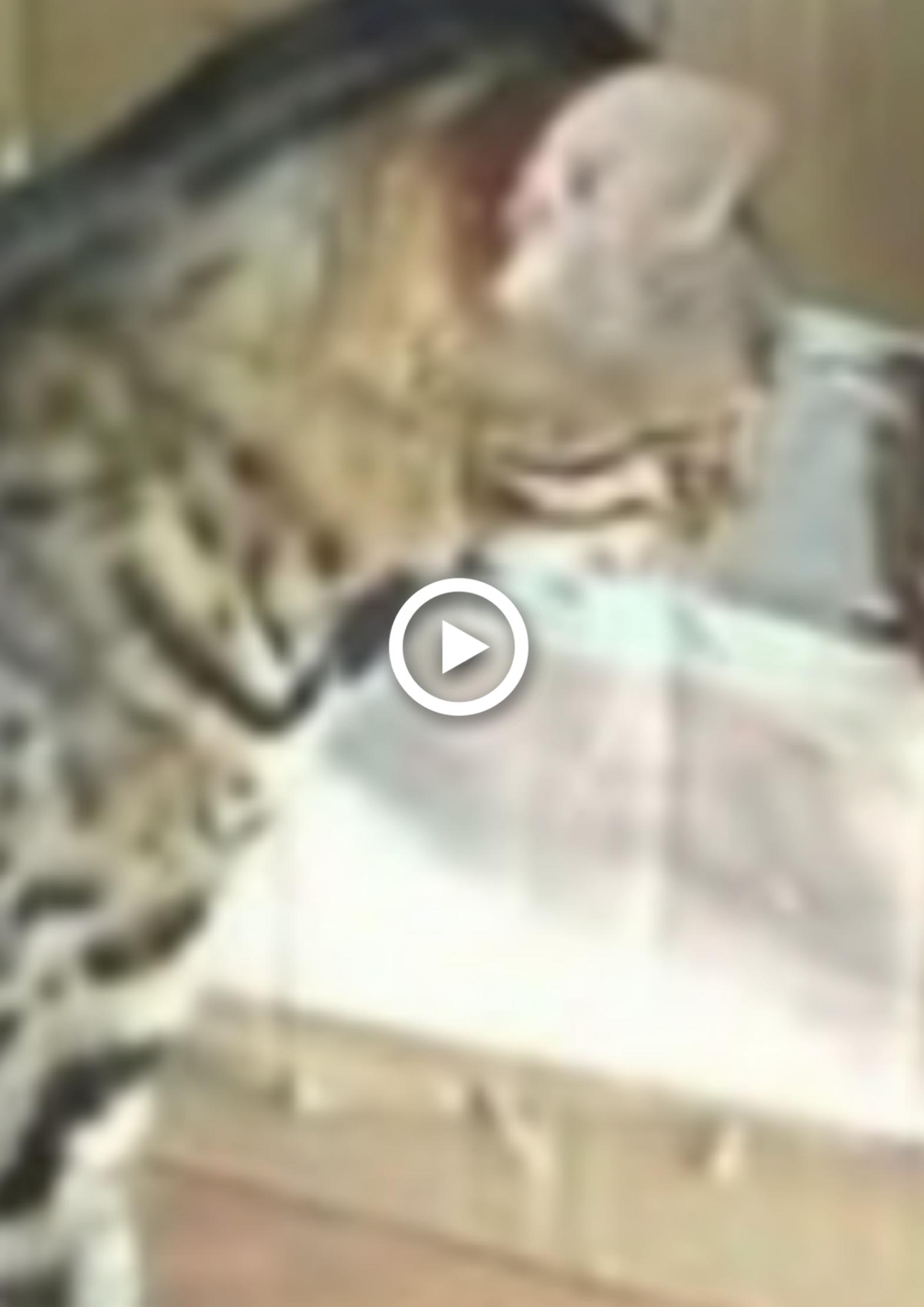 Bengal Cat Kitten Story I Pets Rescue Ideas I Animals Rescue Stories In 2020 Bengal Cat Rescue Bengal Cat Bengal Cat Kitten
