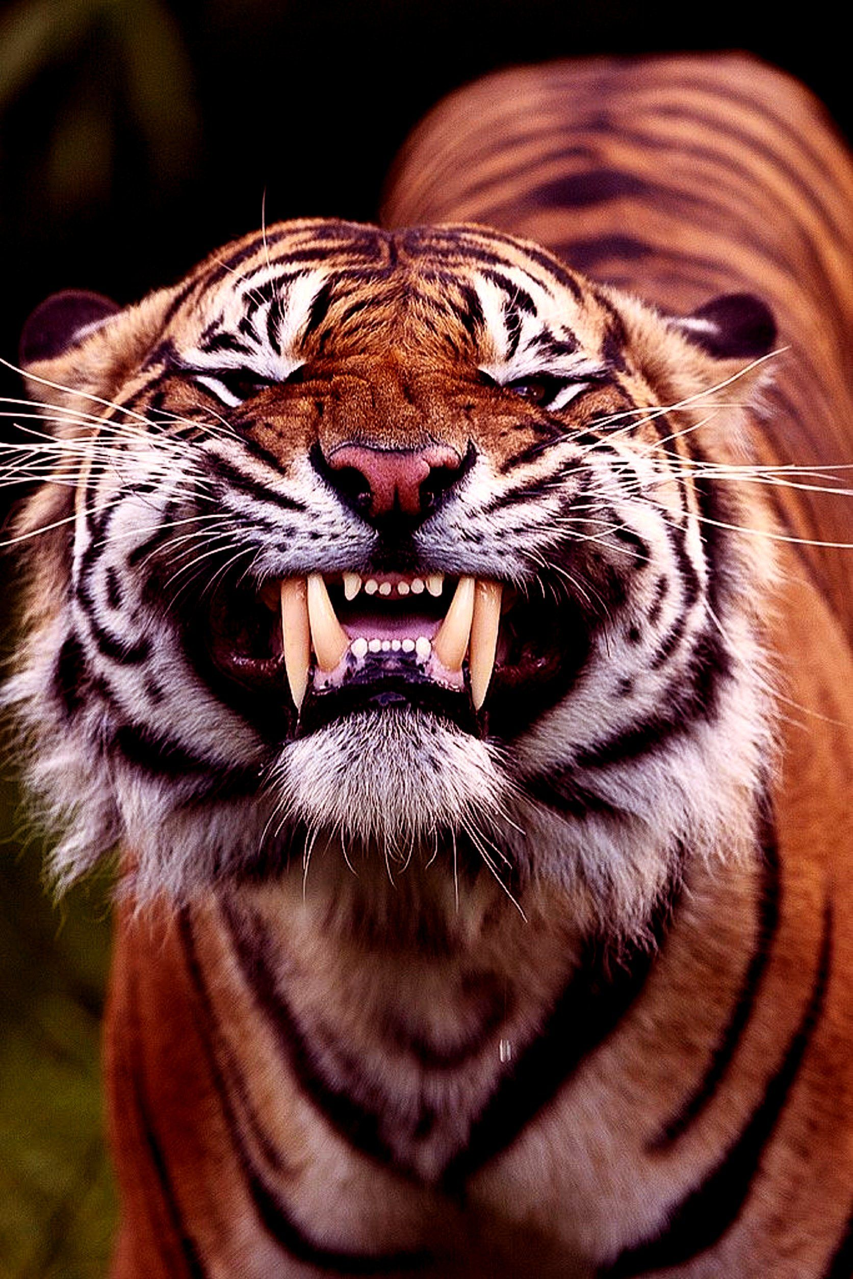 A TIGER   TIGERS   Pinterest   Cats, Animals and Big cats e0a07095e2