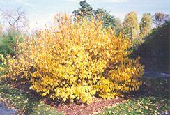 Spicebush (Lindera benzoin) at Chalet Nursery