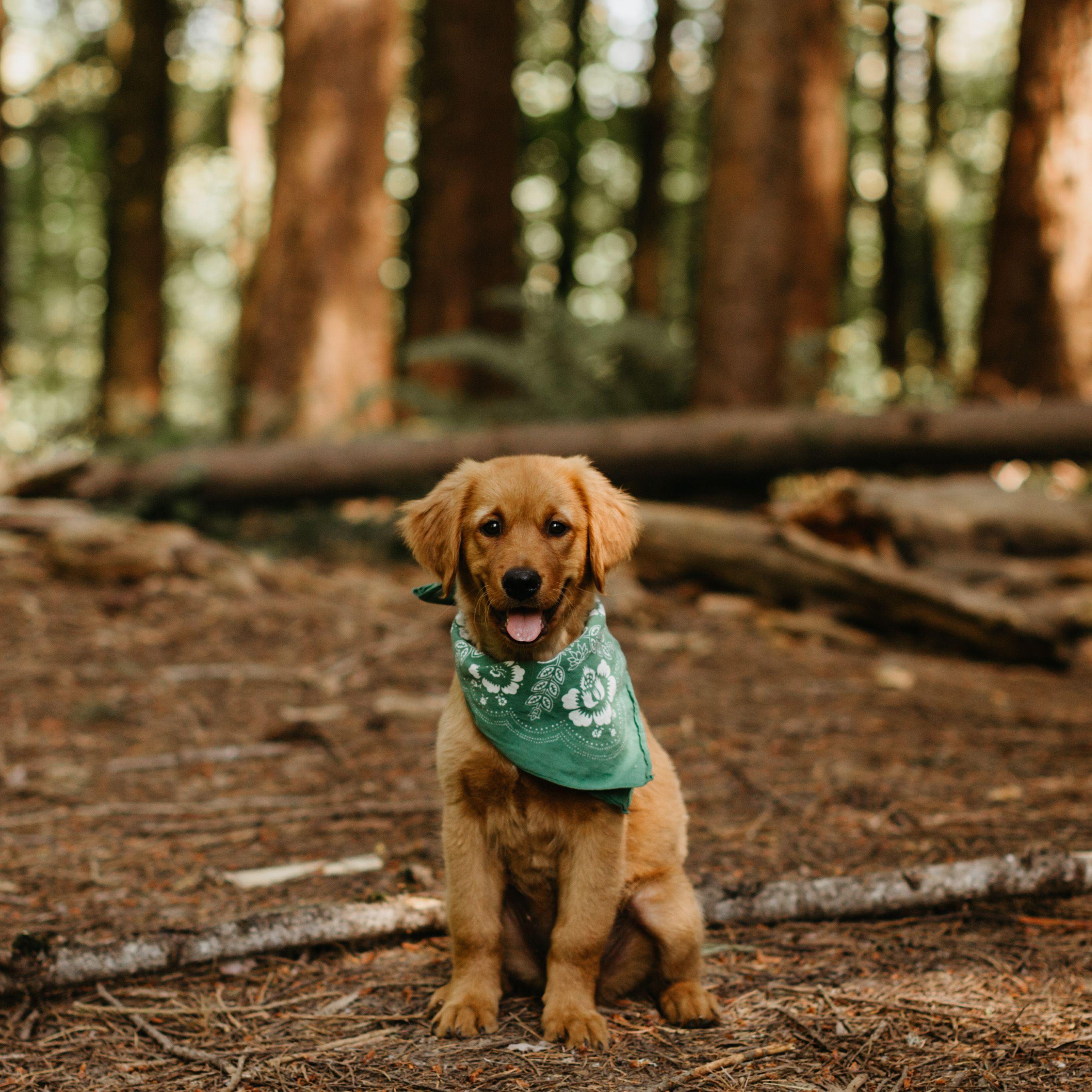 Golden retriever puppy golden retriever retriever puppy