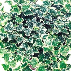 angel snow ivy one of over 400 varieties from exotic angel plants over 400 different. Black Bedroom Furniture Sets. Home Design Ideas