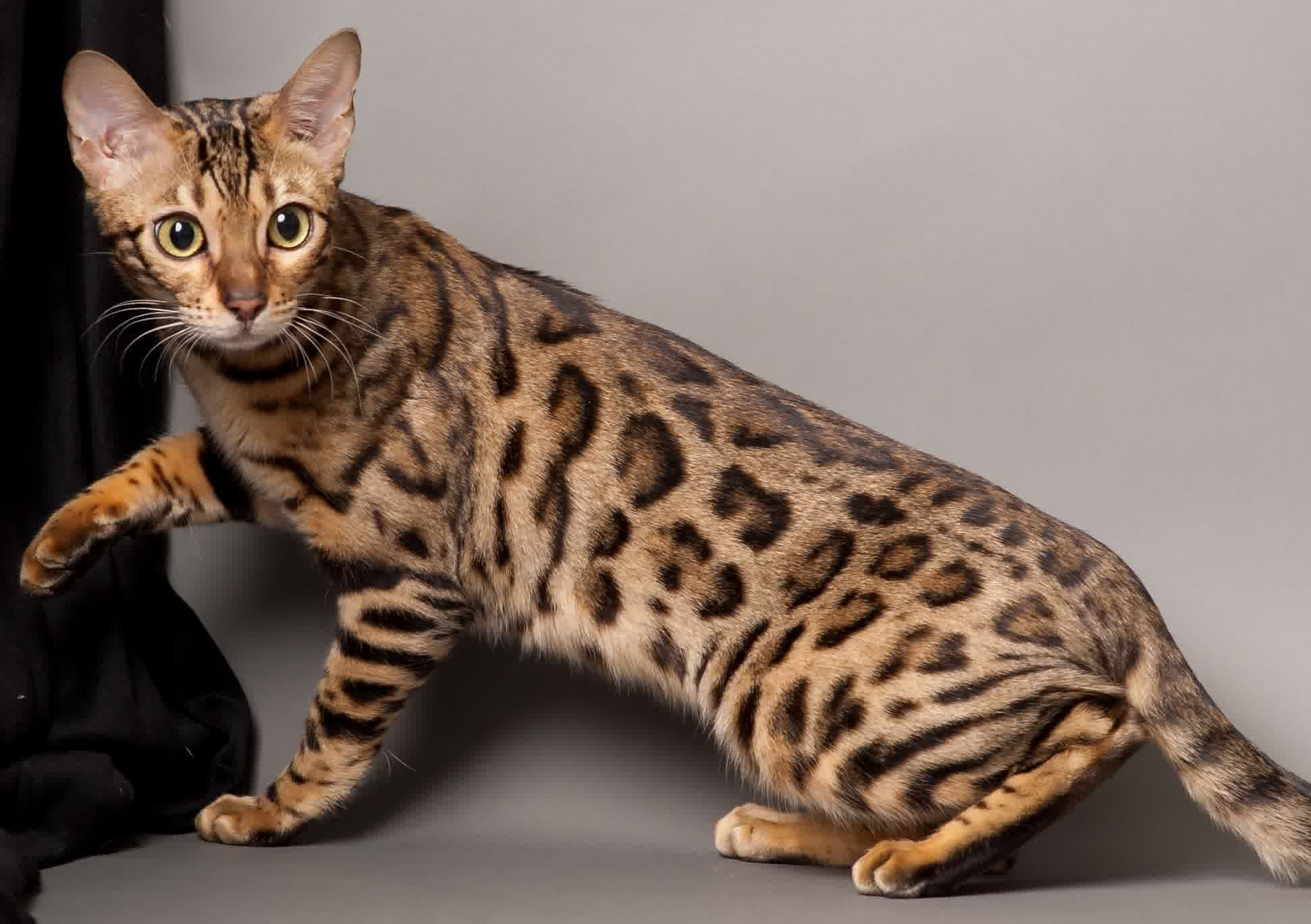 Pin By Cathey Jackson On Animals And Pets In 2020 Cat Breeds Bengal Cat Bengal Kitten