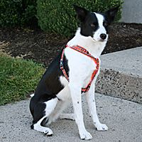 Hurtta Padded Y Harness Dog Harness Dog Agility Dogs