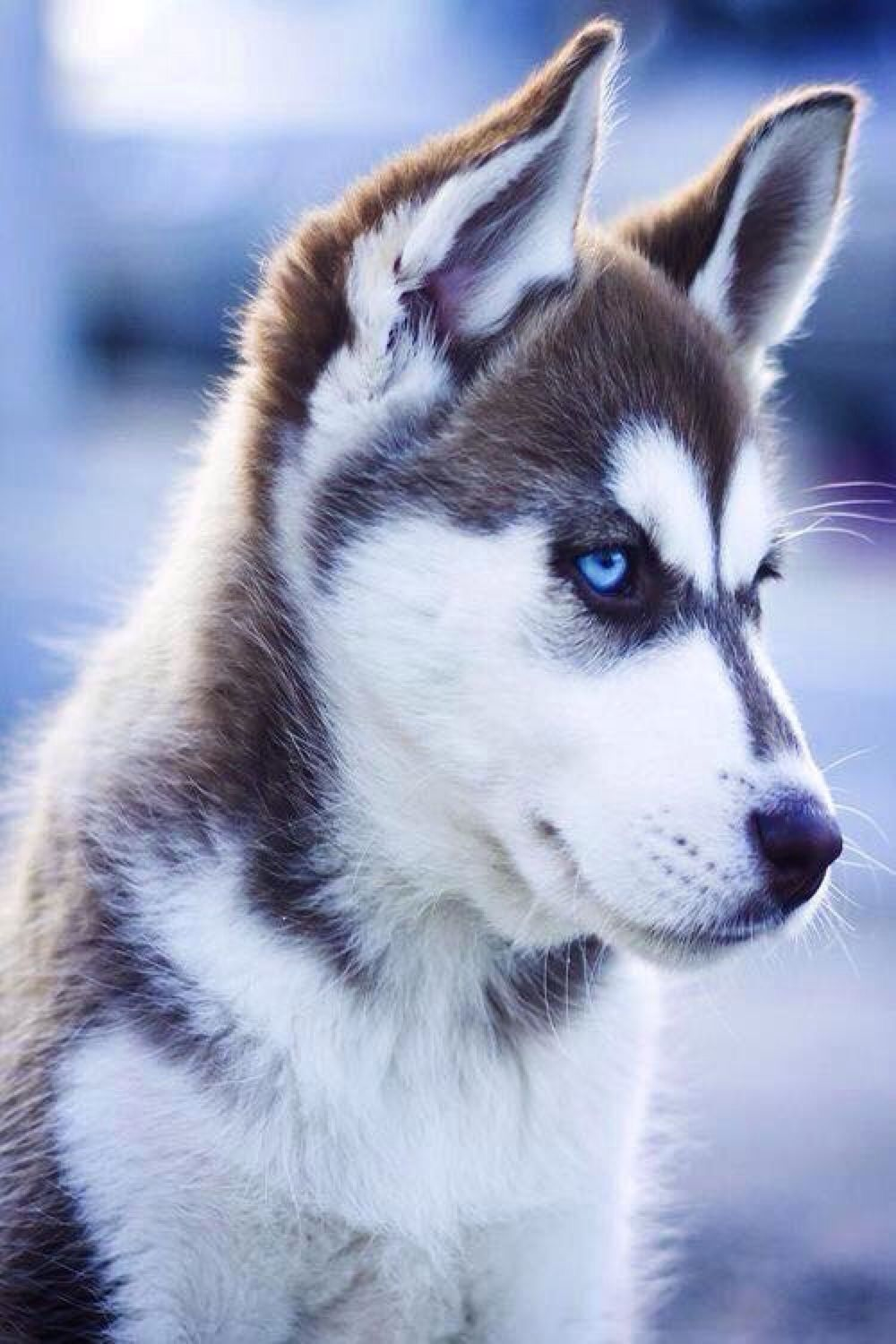 Pin by Kassie Stahl on animals | Perro siberiano, Animales ...