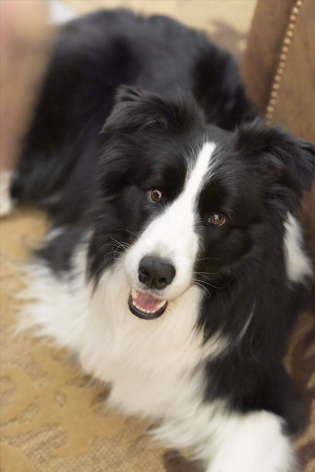Gorgeous Collie Smile Collie Puppies Dogs Border Collie