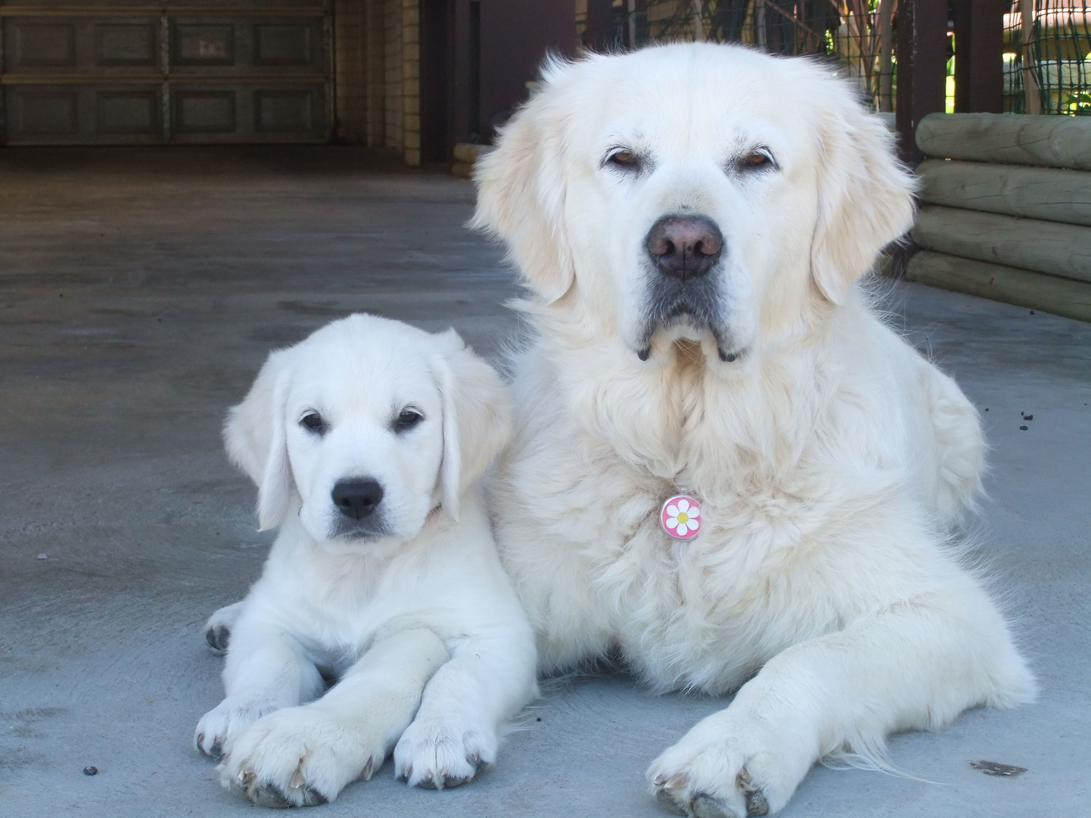 English Creme Golden Retriever Dog & Puppy...learning to