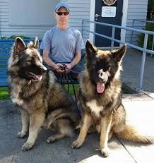 Image result for shiloh shepherd