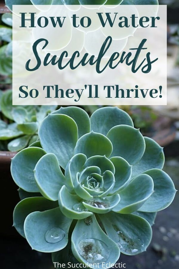 How To Water Succulents Your Plants Will Tell You The Succulent Eclectic In 2020 Succulents How To Water Succulents Plants