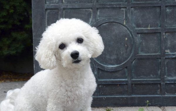 If You Are Thinking Of Welcoming A Bichon Frise Into Your Family