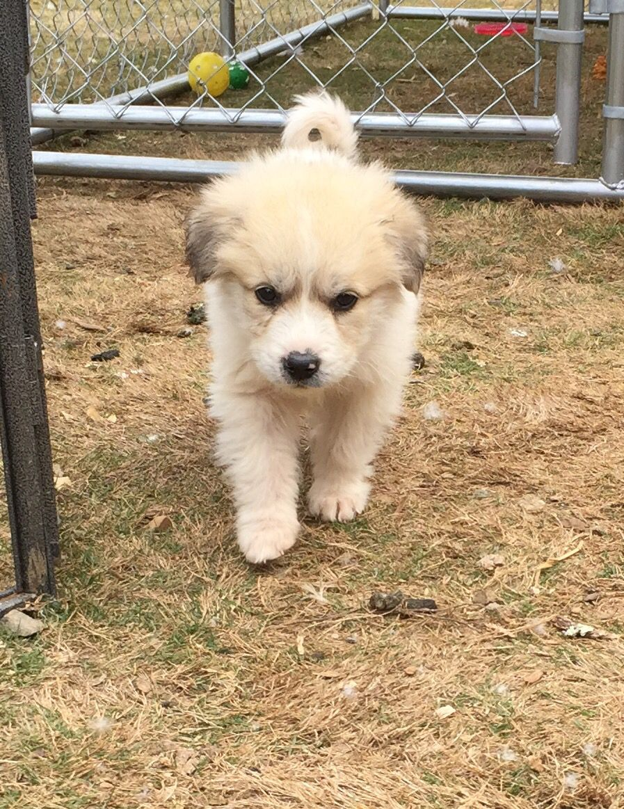 Lgd 3 4 Great Pyrenees 1 4 Anatolian Shepard 9 Weeks Old Great