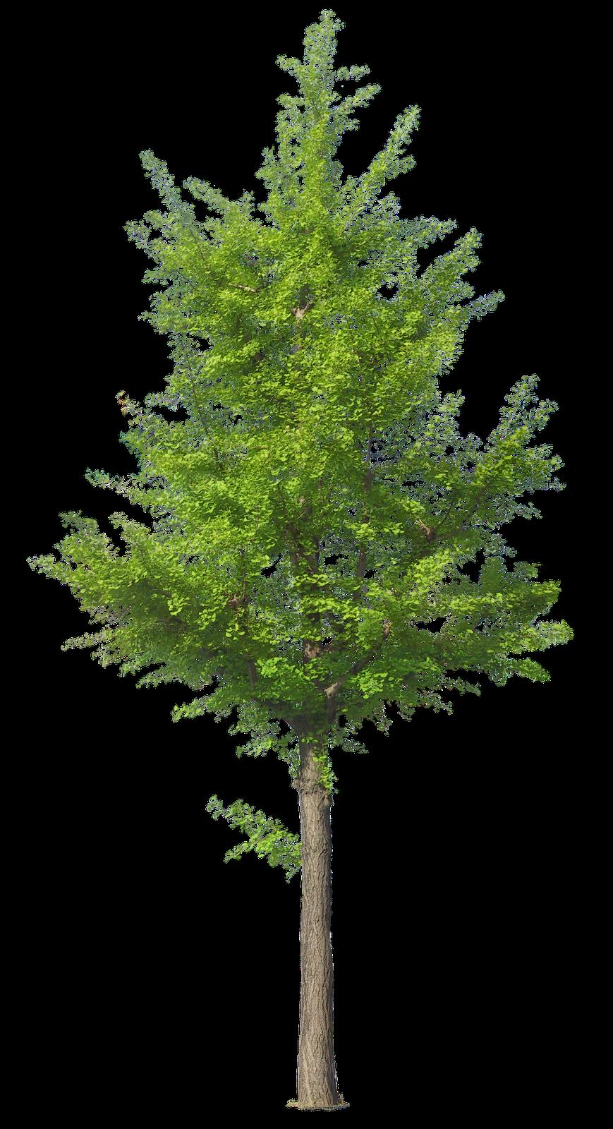 Ginkgo biloba tree pinterest baum grafiken und for Gartengestaltung 3d planer
