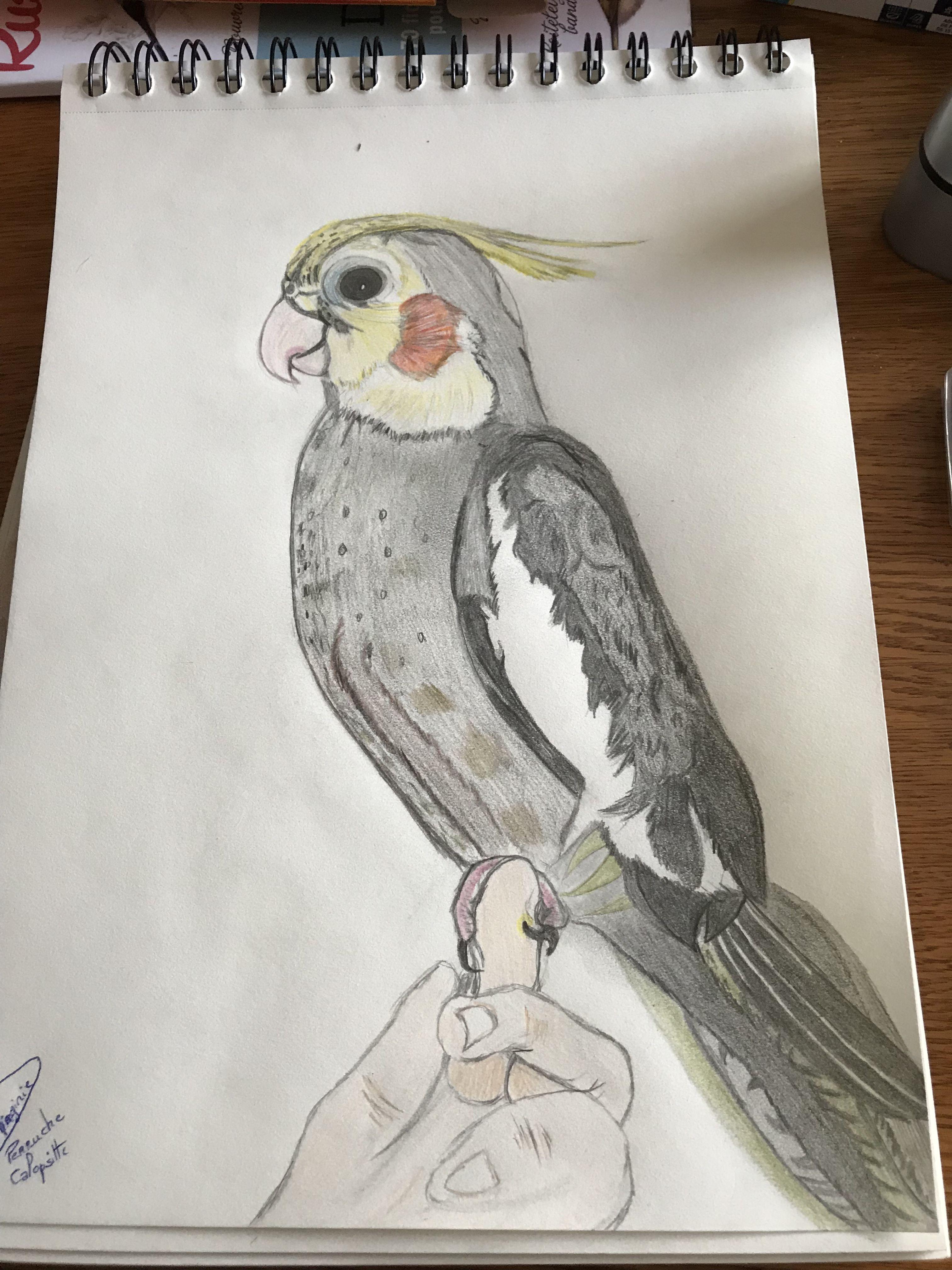 Perruche calopsitte dessin drawing mes dessins - Coloriage perruche ...