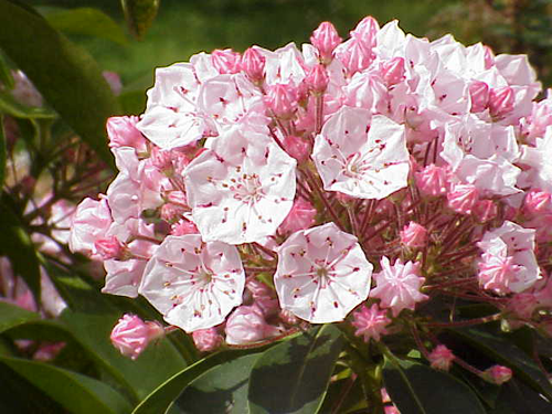 Pin By Wendy Scott On Native Gardening Adventure Laurel Shrub Mountain Laurel Kalmia Latifolia