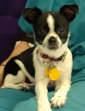 Boston Terrier Chihuahua Mix Oh My God Chihuahua Mix Puppies
